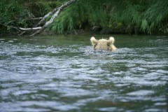 Brown bear with salmon fishing in the river
